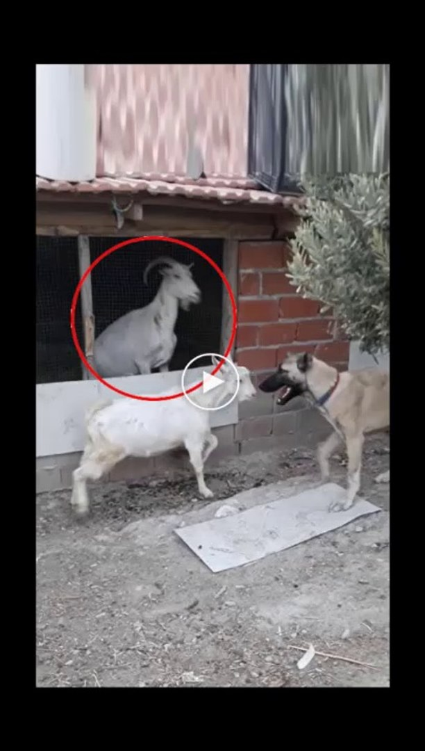 COBAN KOPEGi vs OGLAK - ANATOLiAN SHEPHERD DOG vs GOAT