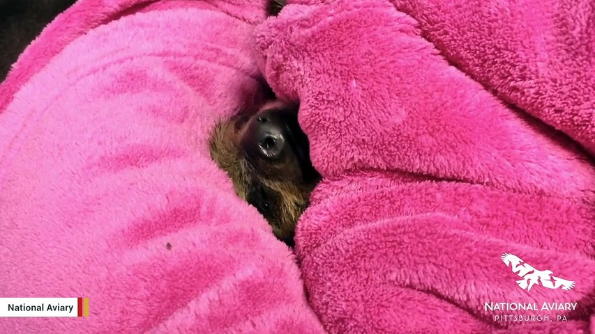 This Baby Sloth Shows You What Perfect Nap Looks LIke