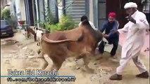 Cow Qurbani | Funny Compilation of Cow Running in Karachi Road | Eid Ul Adha 2018 & 2019