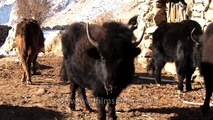 Ladakhis feed and milk Yaks in trans Himalaya