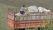 Αγωνία στον Κάμπο των Βαγίων για την τιμή στο βαμβάκι