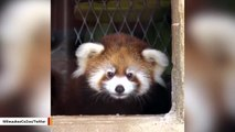 Red Panda Cub 'Kiki' Explores Outside Habitat For First Time
