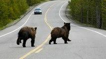 Graban esta feroz pelea entre dos osos 'grizzly' en una carretera de Canadá