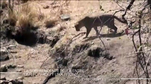 La sorprendente pelea entre un leopardo y una pitón