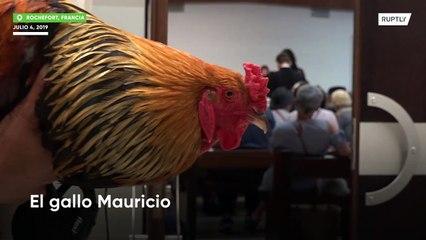 Un gallo gana un juicio y podrá seguir cantando