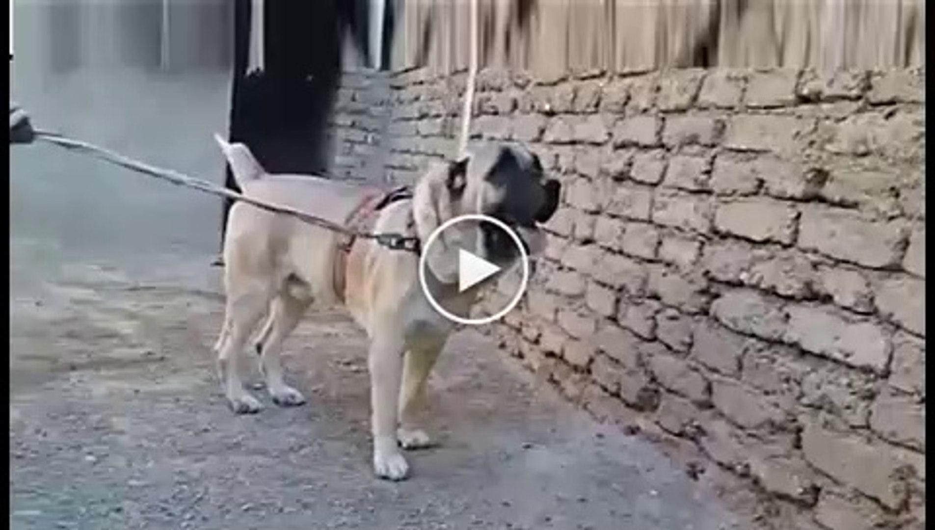 KALIN AFGAN COBAN KOPEGi - AFGHANiSTAN SHEPHERD DOG