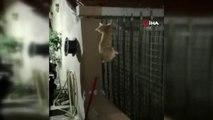 Evin balkonundan düşüp demir korkuluklara saplanan kedinin inanılmaz kurtuluşu kamerada