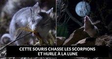 La « souris sauterelle » : la souris carnivore qui résiste au venin de scorpion et hurle à la lune