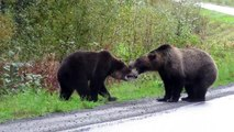 Two grizzly bears fighting in the middle of the road in  Canada  goes viral