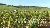 En Bourgogne, les gendarmes traquent les voleurs de raisin