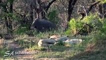 Un rhinocéros fait une mauvaise blague à des lions qui dorment