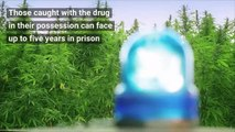 Drugs - The legalisation of cannabis