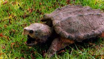 Swamp People: Snapping Turtle Surprise