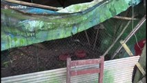 Python caught after trying to raid chicken coop and getting tangled in netting