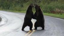 Deux grizzlis se battent violemment devant une automobiliste au Canada