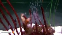 Caught On Camera: Male Seahorse Gives Birth