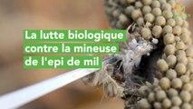 La lutte biologique contre la mineuse de l'épi de mil