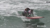 Catch a wave, good boy! Unbelievable talent shown at surfing dog competition