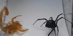 Vídeo Viral: la espeluznante y mortal pelea entre la viuda negra y el escorpión