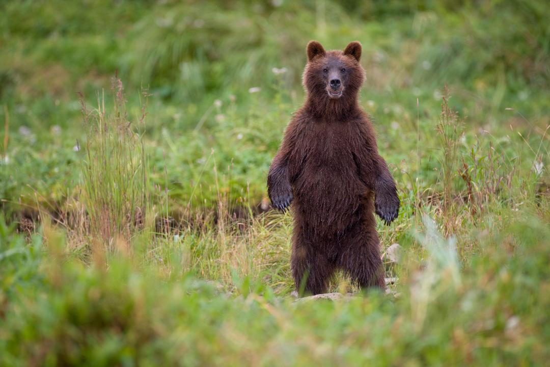 Security Cameras Catch Bear Snacking on Pinot Noir Grapes