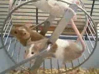 Rodentia le blog des rongeurs souris, rats, lapins, hamster