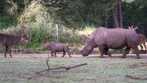 Ce bébé rhinocéros découvre la vie et va voir chaque animal du zoo