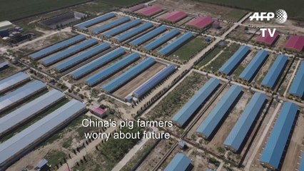 Pig farmers pessimistic as China tries to talk down swine fever