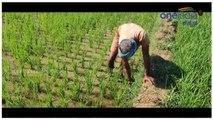 Do You Know How To Grow Rice  | ಭತ್ತ ಬೆಳೆಯೋದು ಹೇಗೆ ಅಂತ ಗೊತ್ತಾ..? ಬನ್ನಿ ತೋರುಸ್ತೀನಿ..?
