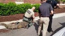 Regardez ce qu'ils découvrent dans un buisson en floride, USA... Gros alligator