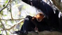 """Un mono """"increíblemente raro"""" nace en un zoo de Australia"""