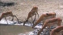 Ces gazelles ne voient pas ce qui se cache dans ces eaux troubles... Attention