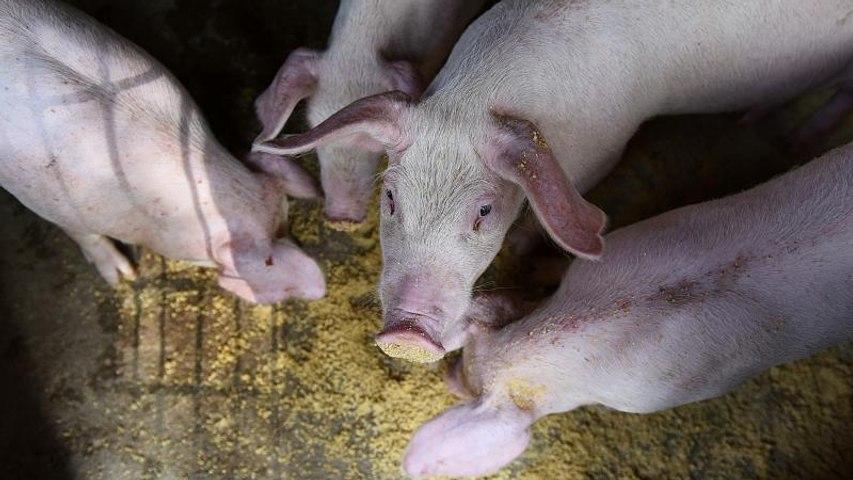 El Gobierno de Hungría sacrifica a más de 5.000 cerdos por miedo a la gripe porcina
