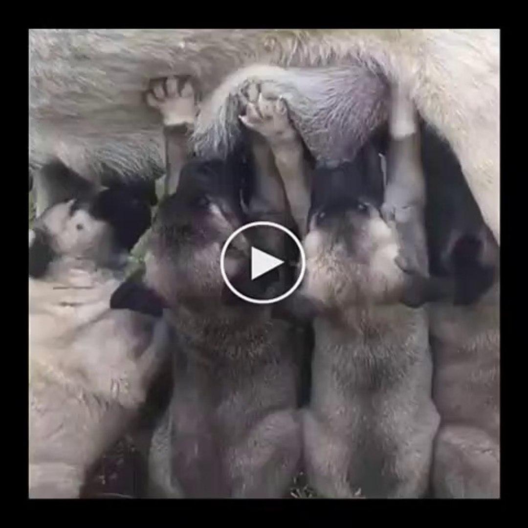 CANAVAR KORKUTAN SiVAS KANGAL YAVRULARI SABAH KAHVALTISI - SiVAS KANGAL DOG PUPPiES BREAKFAST
