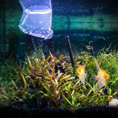 ¿Cómo incorporar nuevos peces a un acuario?