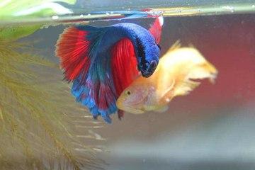 Las enfermedades más comunes de los peces de acuario