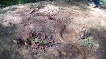 Ce petit serpent est très agressif... attention à la morsure