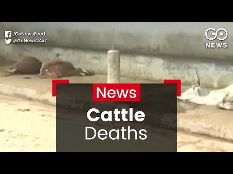 MP Cattle Deaths