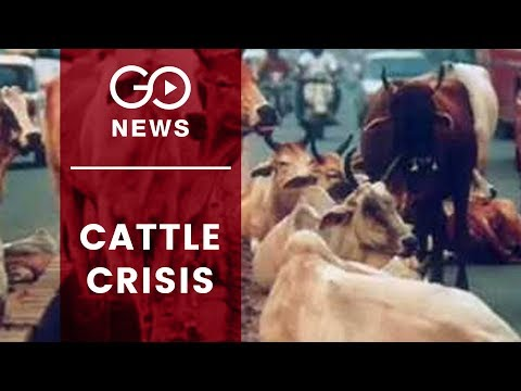 Crores Allocated, But Stray Cattle Remain
