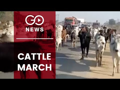 Cattle March