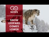 Rare Sightings Of Snow Leopards
