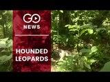 Three Leopards Found Dead In Uttarakhand