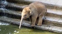 Cet éléphanteau découvre les joies de jouer avec sa trompe