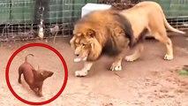 ¿Amistad Animal?: metieron al perro en la jaula del león y lo que pasó dejó a todos patidifusos