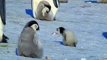 Vite, vite, petit pingouin ! Les premiers pas héroiques d'un bébé pingouin font craquer le zeb