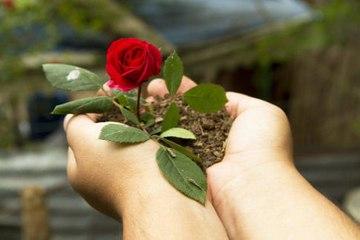Wie pflegt man seinen Rosenstock?