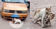 En pleine rue, un chat traîne son ami mort victime d'un accident pour le mettre à l'abri