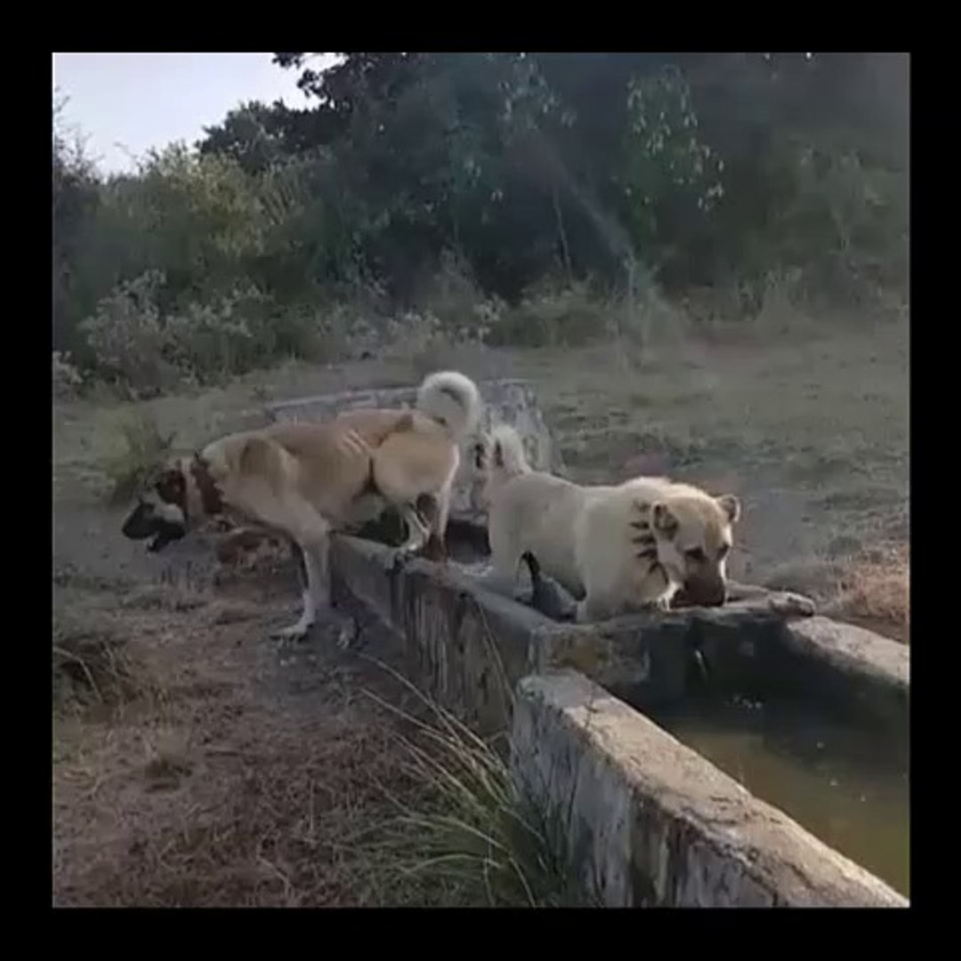 COBAN KOPEKLERi SPORDAN SONRA SU KEYFi - ANATOLiAN SHEPHERD DOGS EXERCiSE LATER SHOWER