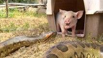 Vídeo Viral: a la anaconda le entra el apetito, sale a cazar, encuentra al cerdito y pasa lo que pasa
