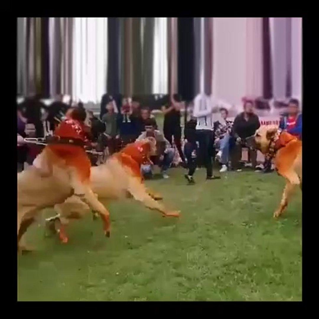 KINALI ANADOLU ASLANLARI ATISMASI - ANATOLiAN SHEPHERD DOGS vs