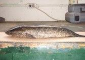Most Dangerous Fish In The World : ഈ മീനിനെ കണ്ടാല് ഉടനെ കൊന്നു കളയുക | Oneindia Malayalam